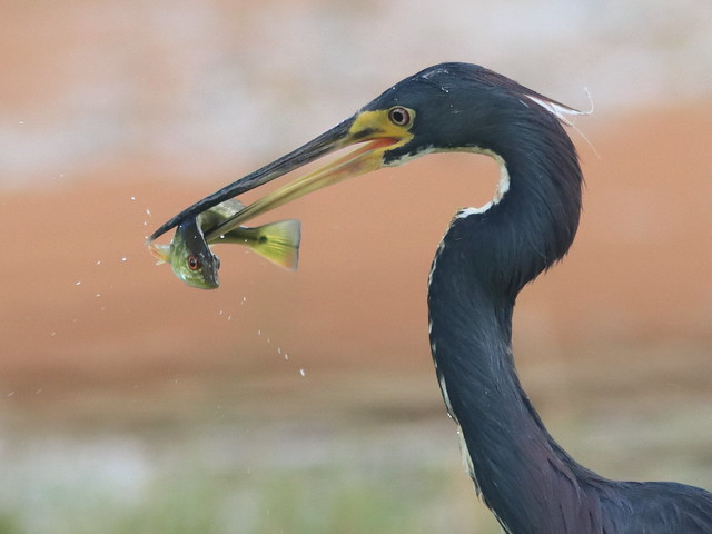 Tricolored Heron with fish 02-20200813