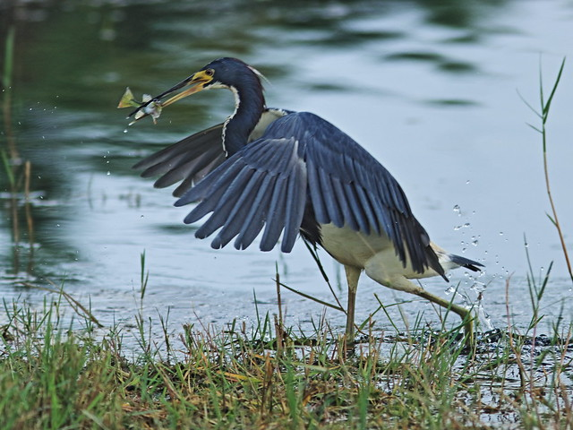 Tricolored Heron catches fish 01-20200813