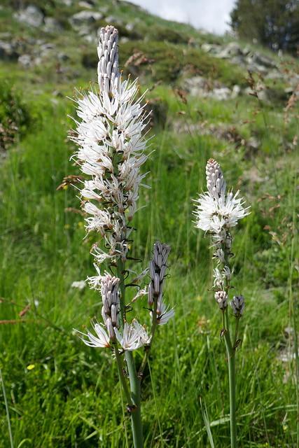 Flore pyrénéenne, asphodèles (Asphodelus), balade aux lacs d'Ayous, Bious-Artigues, Laruns, Béarn, Pyrénées Atlantiques, Nouvelle-Aquitaine, France.