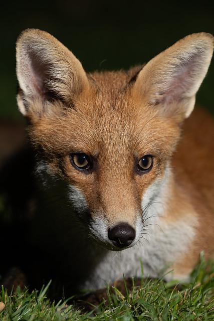 Fox cub chilling