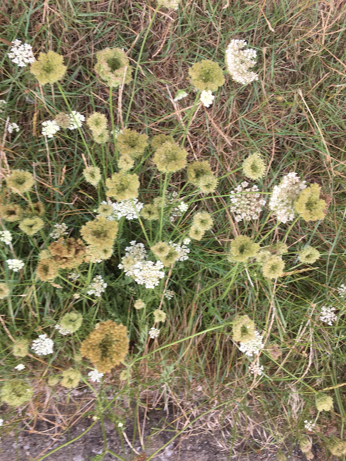 Wild carrot Faversham to Whitstable