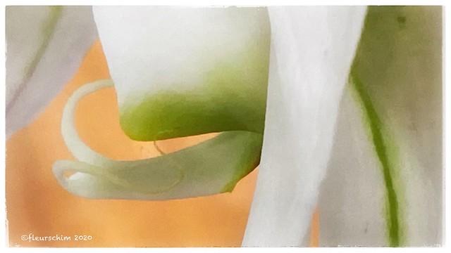 Detail of phalaenopsis