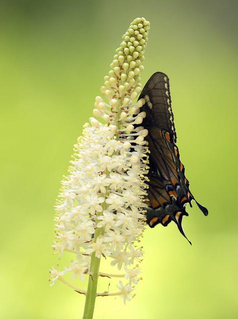 Fly-poison (Amianthium muscitoxicum)