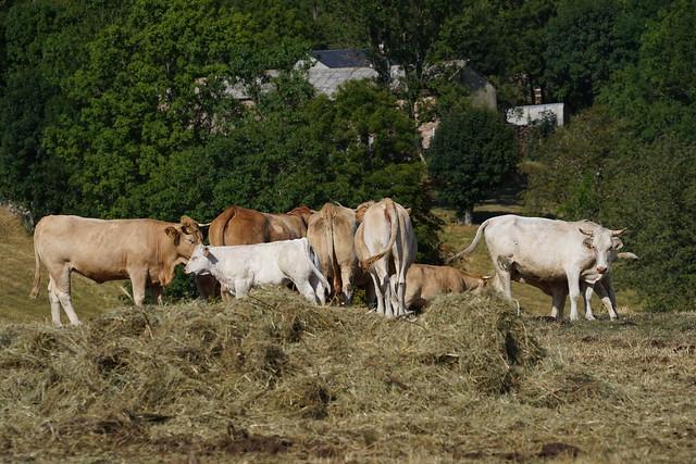 Herd in Lozere