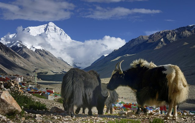 Enjoying with yaks the view of Mt Everest, Tibet 2019