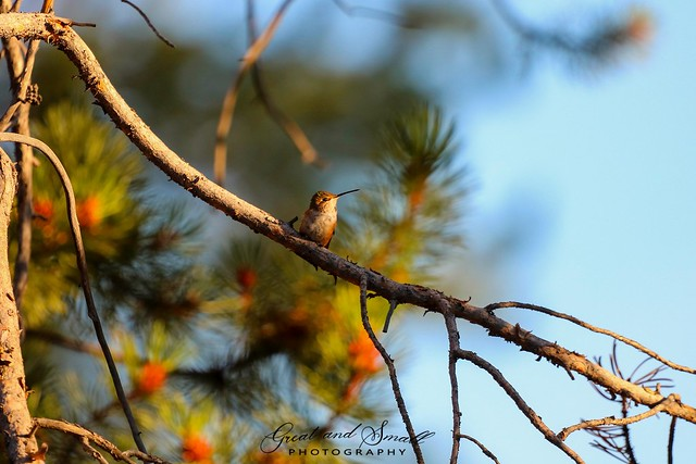 Rufous at sunset