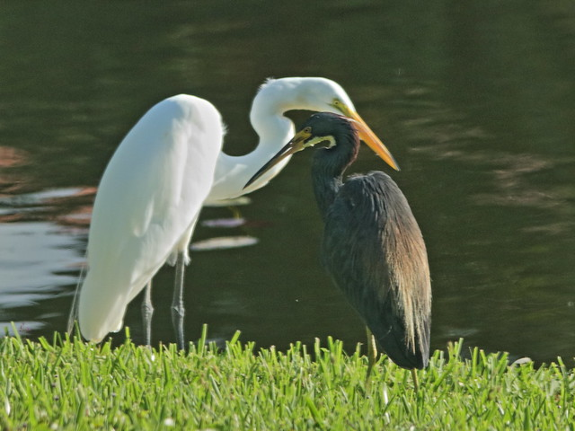 Great Egret-  Tricolored Heron 20200813