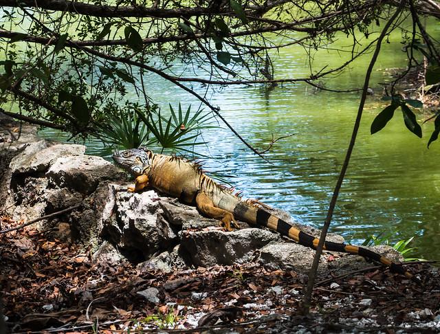 A big Iguan in the Mayan jungle