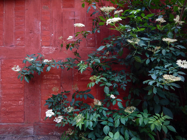 An elderberry plant up against a red brick wall in the 1864 village of the large open-air museum in Aarhus, Denmark