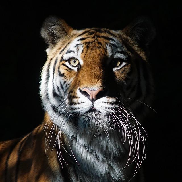 Tg Nbg                  Tigress                200805