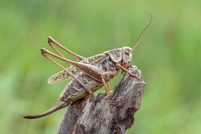 Wart-biter (Decticus verrucivorus)♀