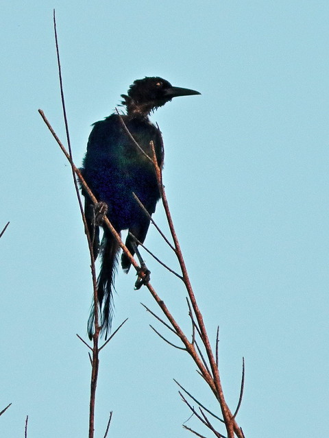Boat-tailed Grackle molting 20200813