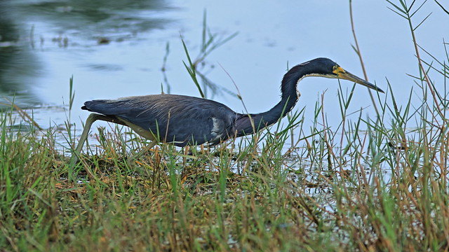 Tricolored Heron 3-20200813
