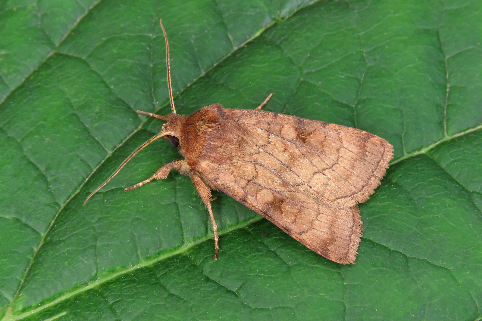 73.358 Six-striped Rustic - Xestia sexstrigata