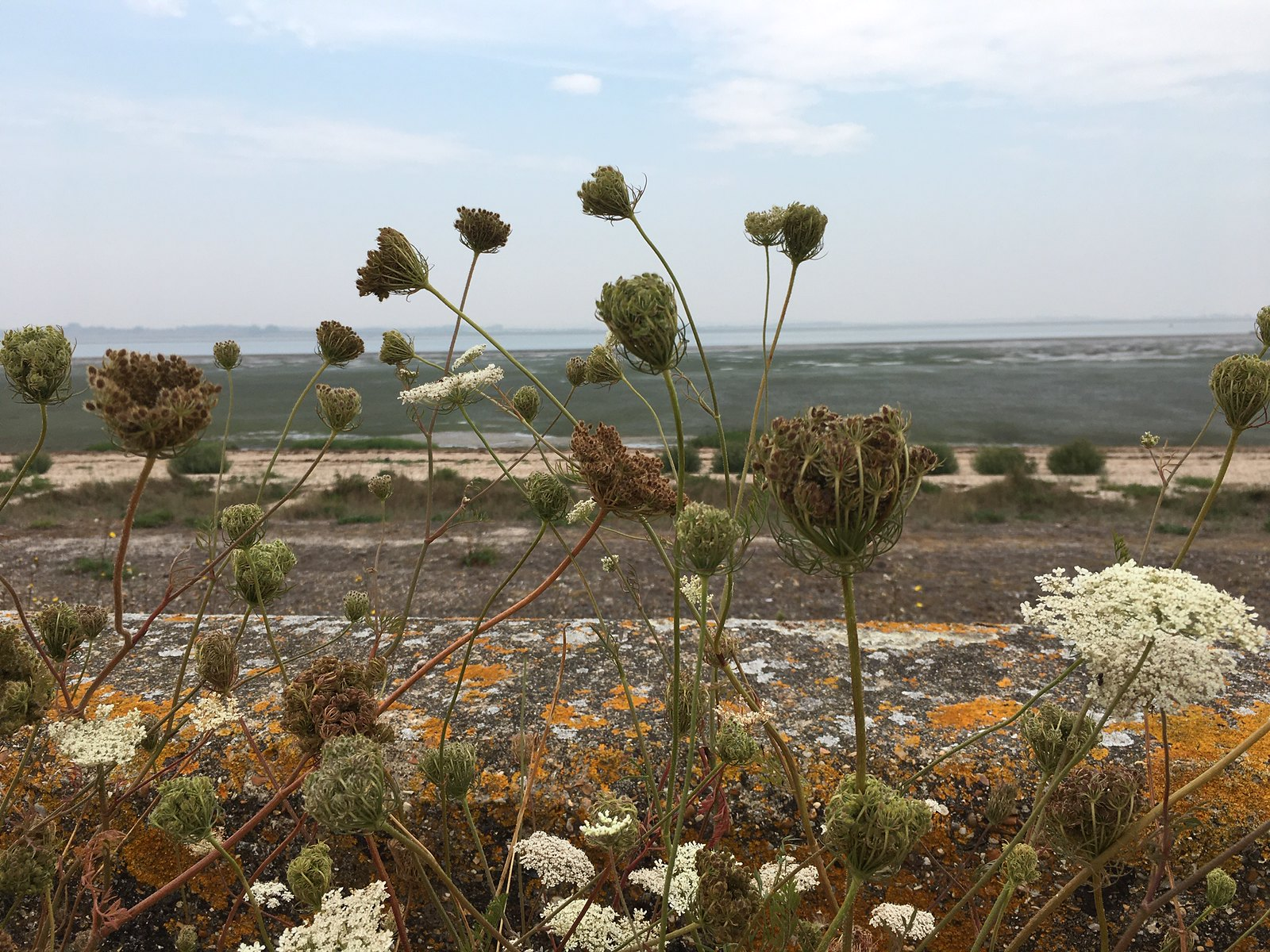 Wild carrot and lichen Faversham to Whitstable