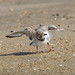 Piping Plover drying off after a dip in the ocean