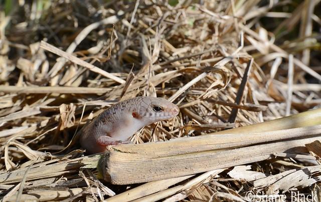 Black-tailed Bar-lipped Skink (Glaphyromorphus nigricaudis)