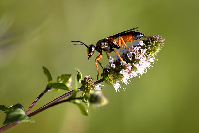 A bulldozer in the insect world, Great Golden Digger Wasp