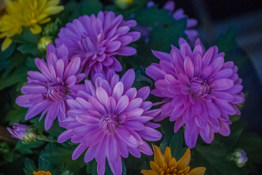 Нравятся мне фиолетовые цветы 12:16:12 DSC_7299