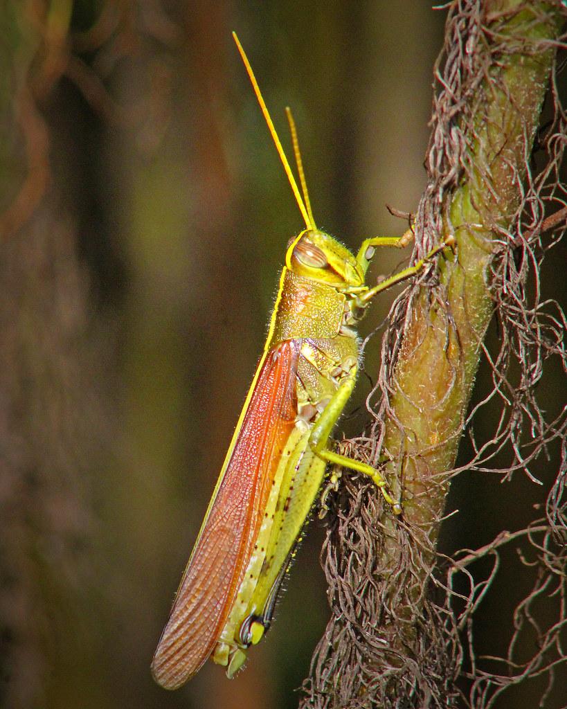 2020.07.25 La Chua Olive-green Swamp Grasshopper 2
