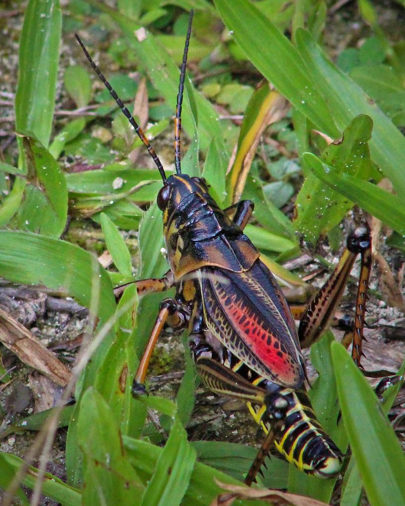 2020.07.25 Lower Suwannee NWR Eastern Lubber Grasshopper 3