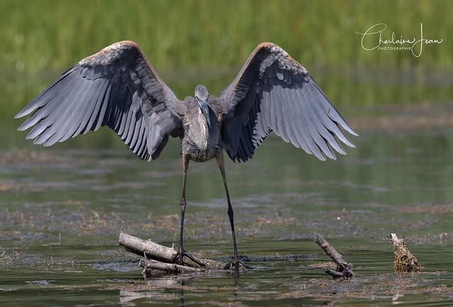 Grand héron bleu à l'atterrissage- Great Blue heron