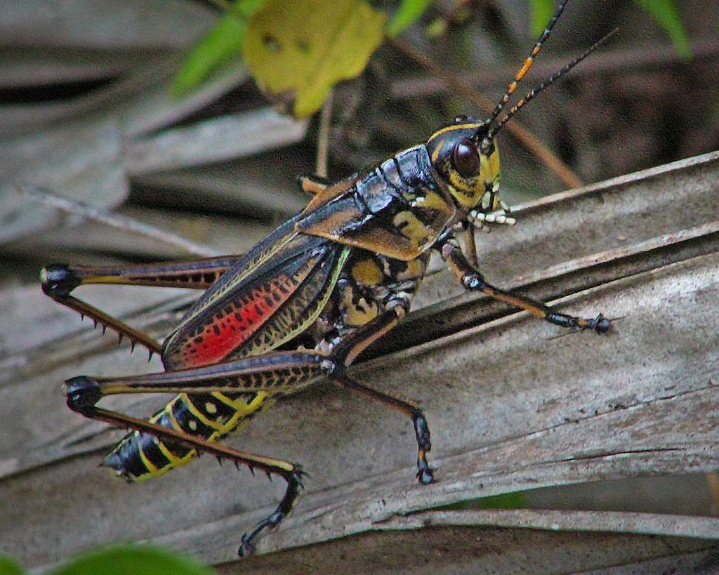 2020.07.25 Lower Suwannee NWR Eastern Lubber Grasshopper 6