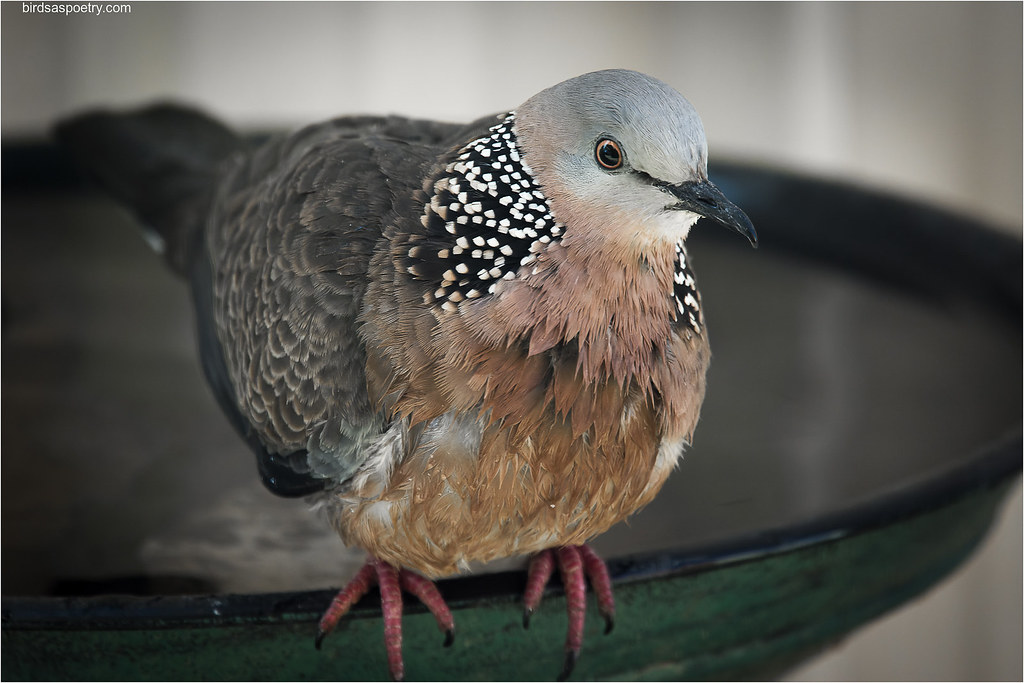 Spotted Dove: The Sponge