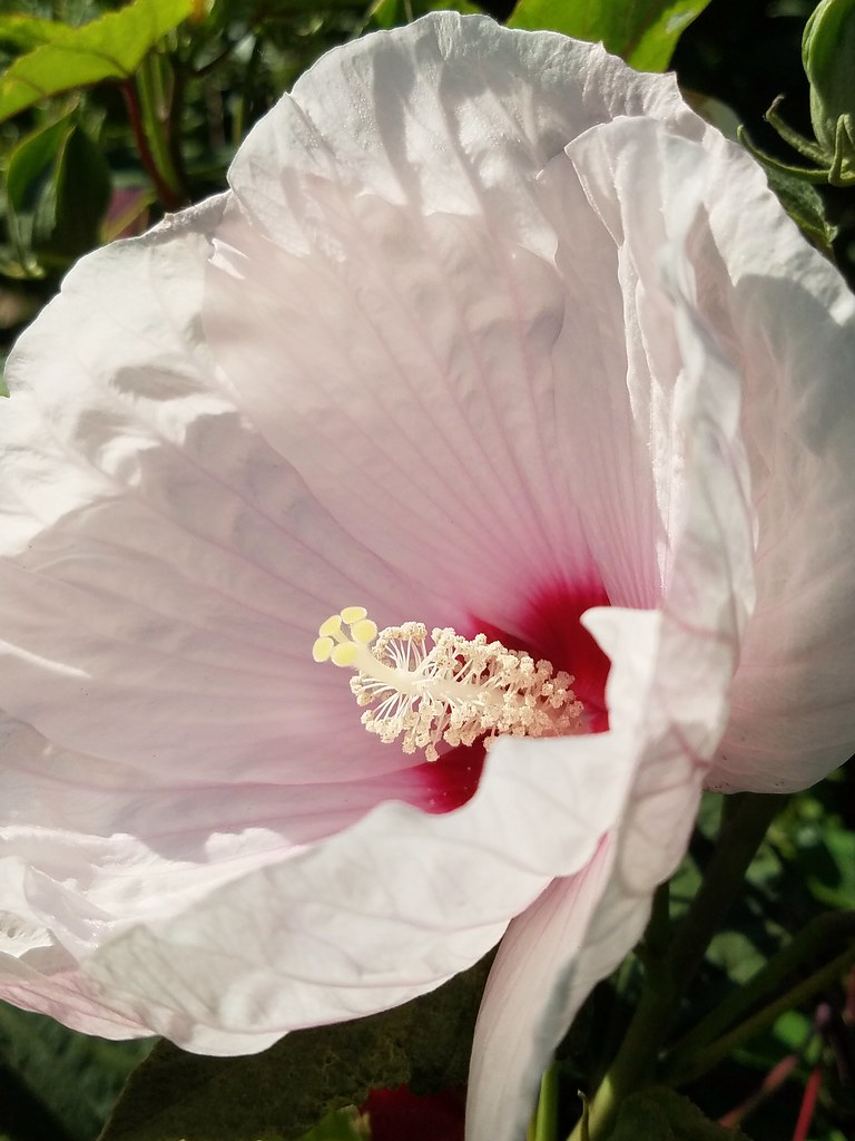 A Bi-colored Rose Of Sharon Flower In My Neighborhood. Hibiscus syriacus.