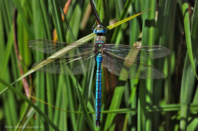Anax empereur (Anax imperator) (16)