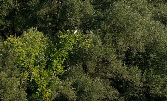 Distant Egret