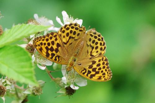 argynnispaphia cambridgeshire waresleywood butterfly fritillary insect nature silverwashed wild wildlife