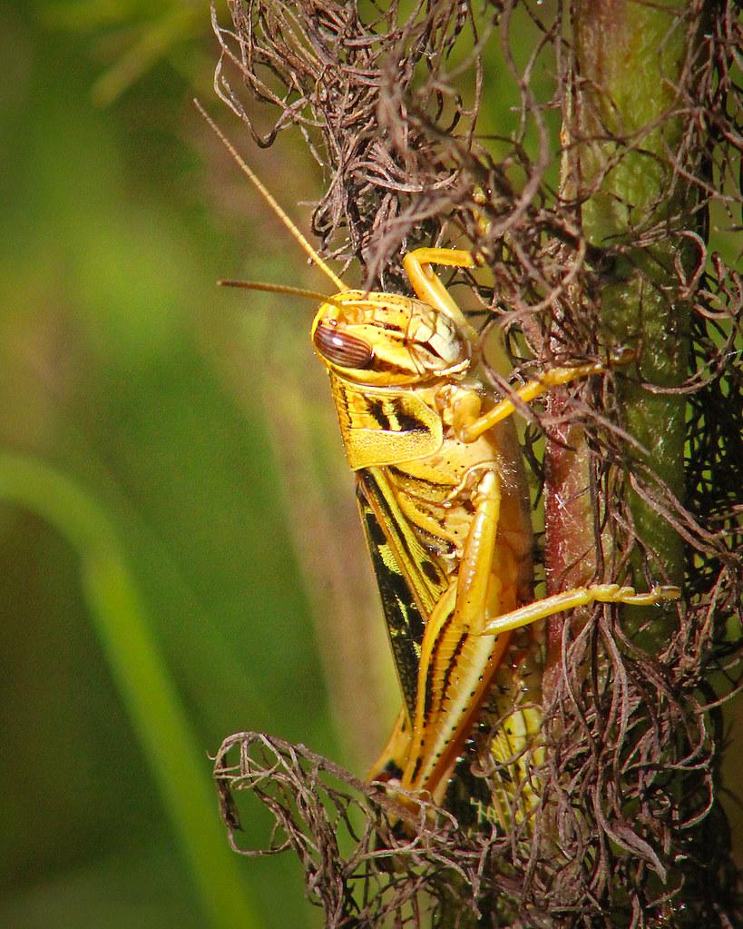 2020.07.25 La Chua American Bird Grasshopper 4