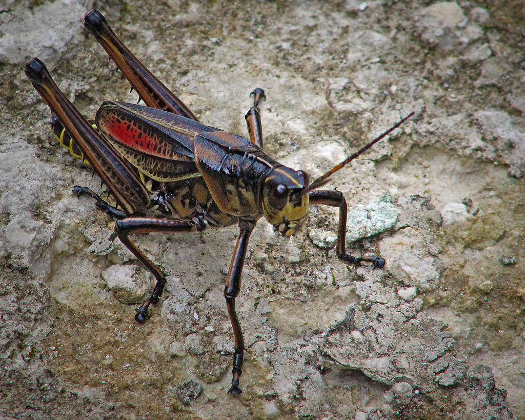 2020.07.25 Lower Suwannee NWR Eastern Lubber Grasshopper 5