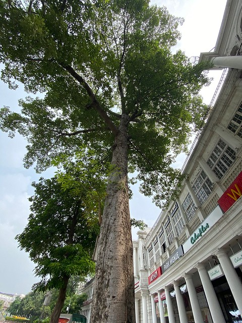 City Landmark - Semal Tree, Connaught Place