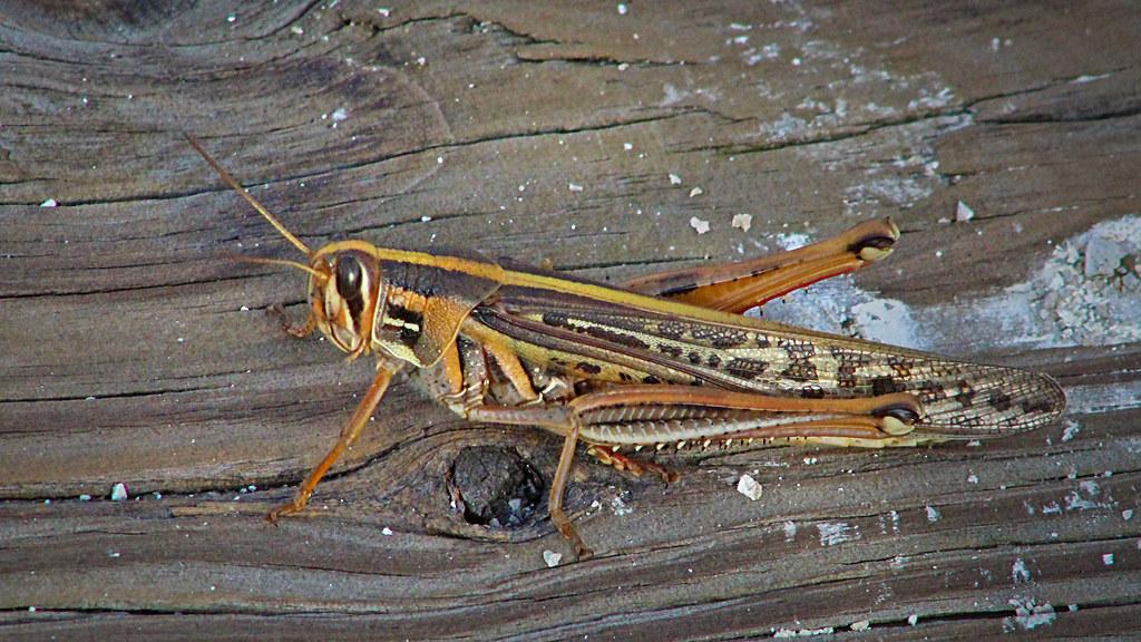 2020.07.25 La Chua American Bird Grasshopper 1