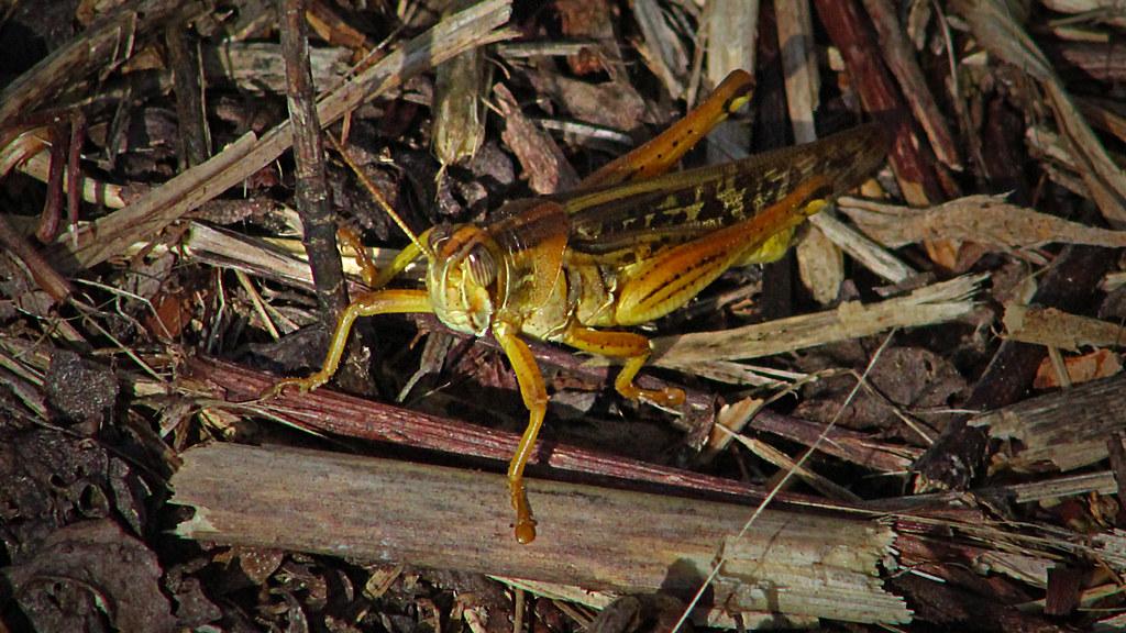2020.07.25 La Chua American Bird Grasshopper 2