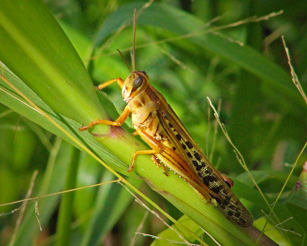 2020.07.25 La Chua American Bird Grasshopper 3
