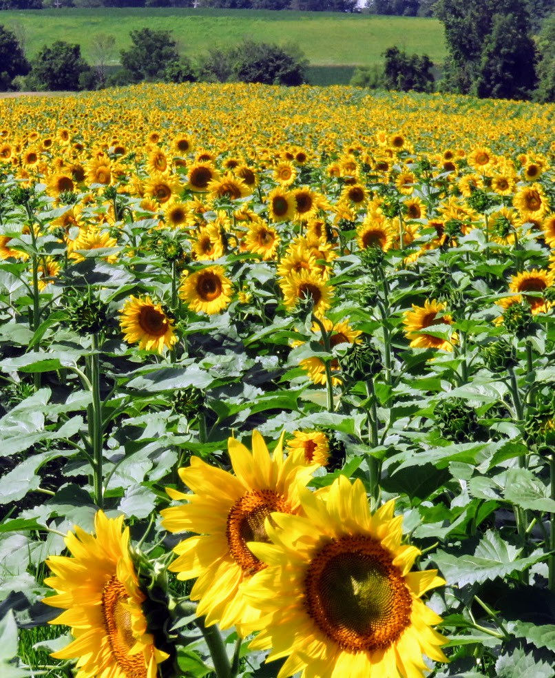 Field of sunflowers Rochester, NY