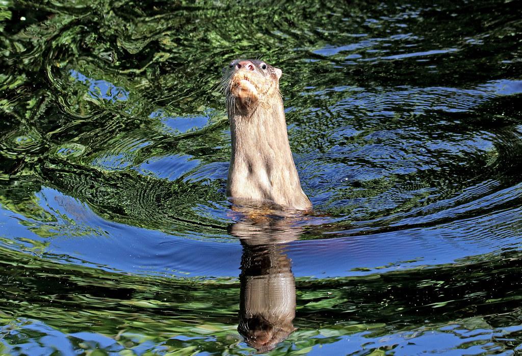 Lontra longicaudis
