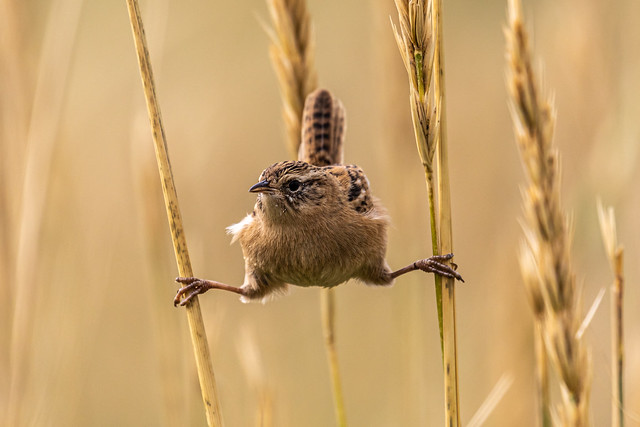 Sedge Wren Splits