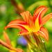 Lily (20200725-DSC06354)