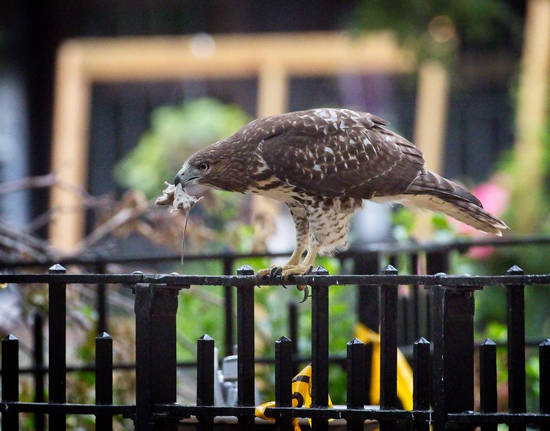 Tompkins Square red-tail fledgling with prey