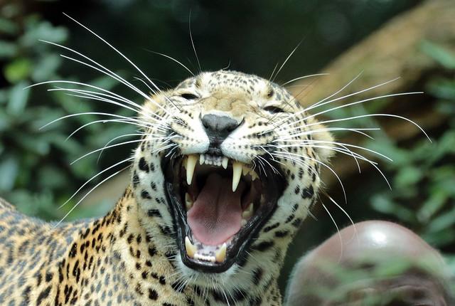 shri lankan leopard Burgerszoo BB2A0798
