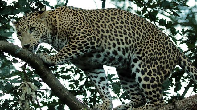 shri lankan leopard Burgerszoo BB2A0512