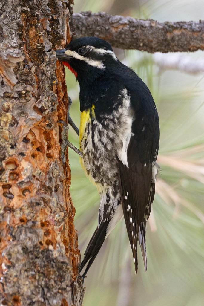 A male Williamson's sapsucker drills into a tree at the trailhead of the Cerro Grande Trail in Bandelier National Monument in Los Alamos, New Mexico in May 2007. Original: _MG_7695.cr2