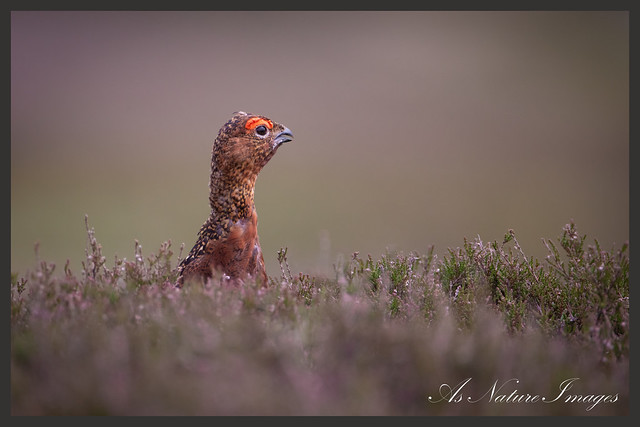 Red Grouse calling from Heather