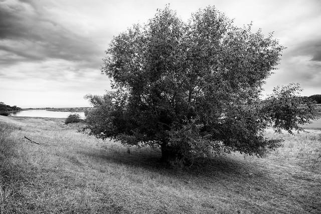 Baum am Oderufer