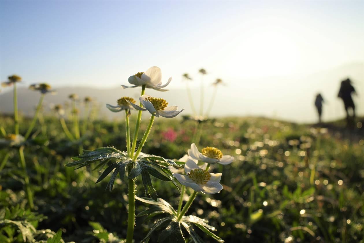朝日に咲くハクサンイチゲ
