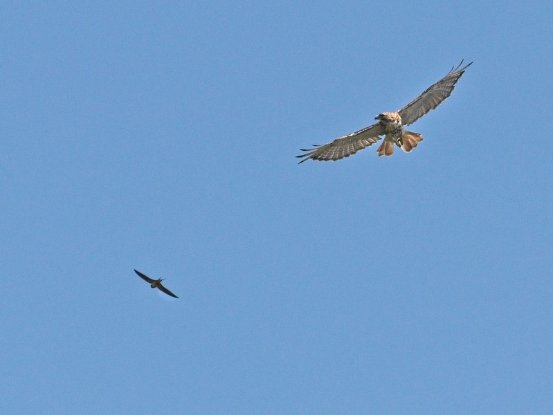 Red-tailed hawk and barn swallow